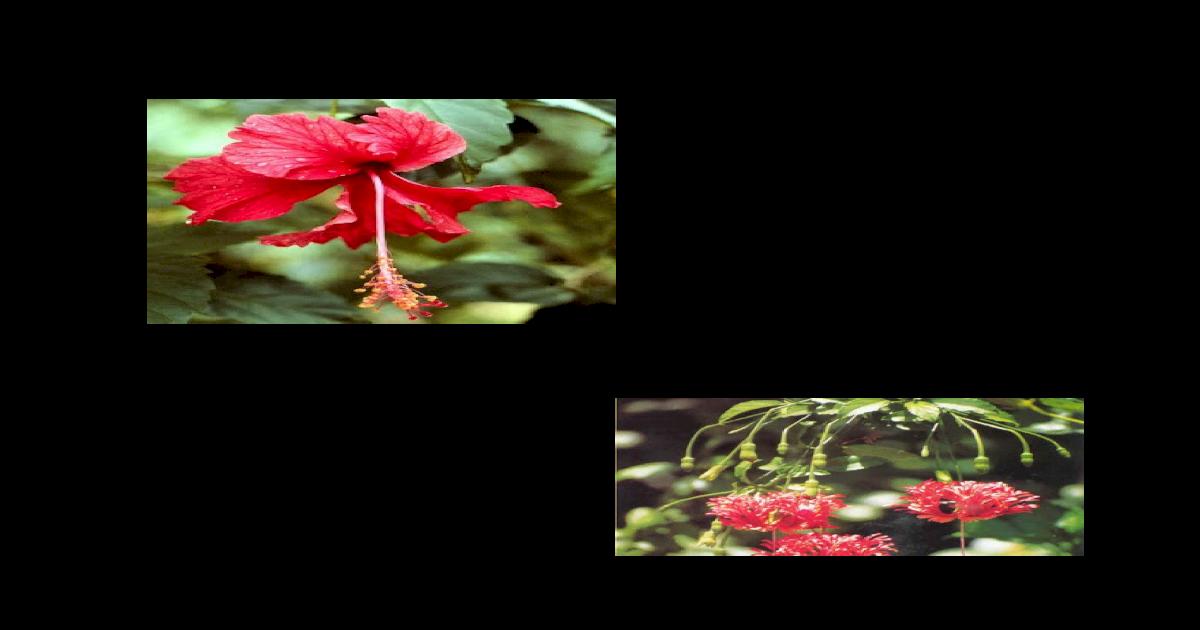 Download 6400 Koleksi Gambar Bunga Kembang Sepatu Beserta Bagian